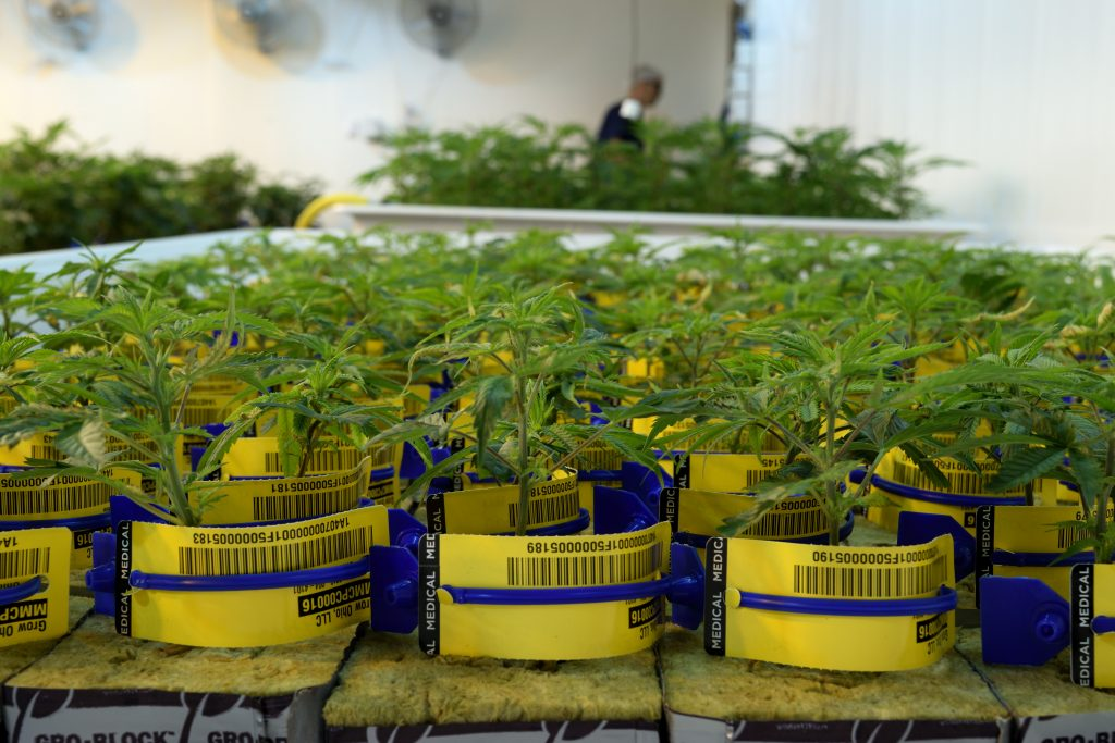 Medical marijuana plants growing in a cultivation facility