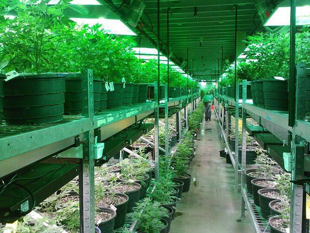 Missouri medical cannabis cultivation facility growing medical marijuana