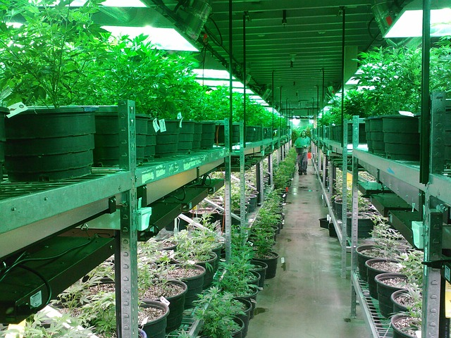 Missouri medical cannabis cultivation facility growing medical marijuana
