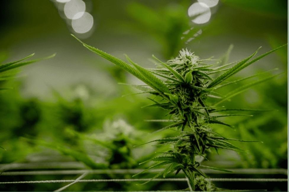 MD commission to help shape national marijuana policies